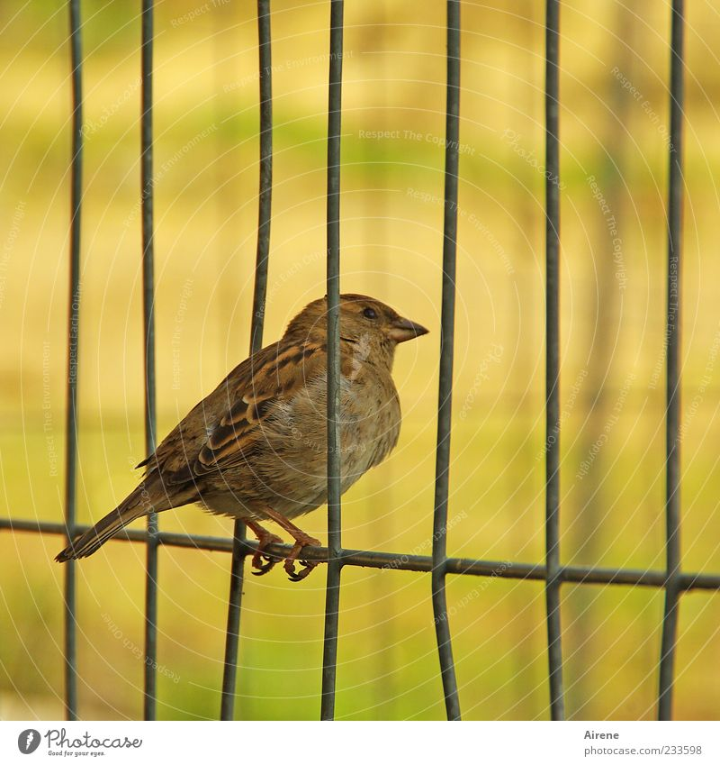 Eyes up and through! Animal Bird Sparrow 1 Metal Observe Crouch Sit Brash Small Curiosity Brown Yellow Green Black Break Grating Fence Hoarding Wire fence Hold