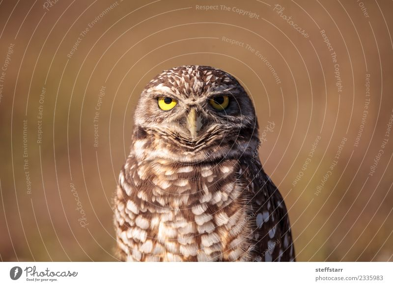 Burrowing owl Athene cunicularia Grass Field Animal Wild animal Bird Animal face 1 Brown Yellow Gold Owl Bird of prey raptor Marco Island Florida bright eyes