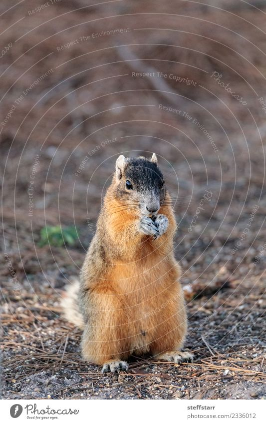 Eastern Fox squirrel Sciurus niger Eating Nature Animal Wild animal Animal face 1 Cute Brown Red bryant fox squirrel Squirrel eastern fox squirrel Florida