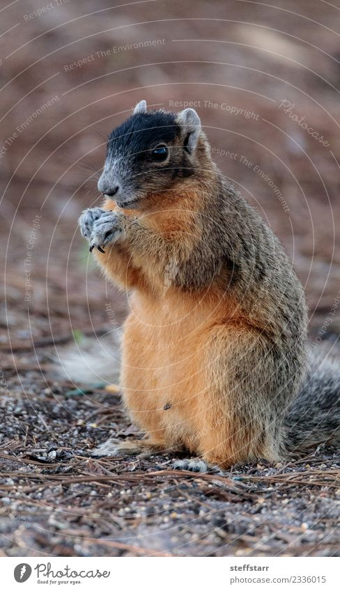 Eastern Fox squirrel Sciurus niger Eating Nature Animal Wild animal 1 Cute Brown Red bryant fox squirrel Squirrel eastern fox squirrel Florida Rodent eat