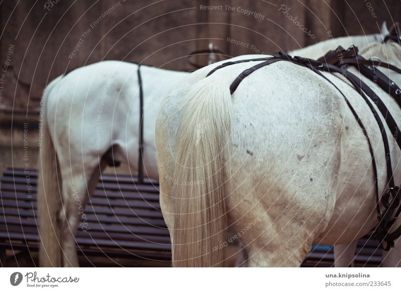 233645 Animal Farm animal Horse Pelt Tails Gray (horse) Stand White Hind quarters Bridle Colour photo Exterior shot Deserted Shallow depth of field