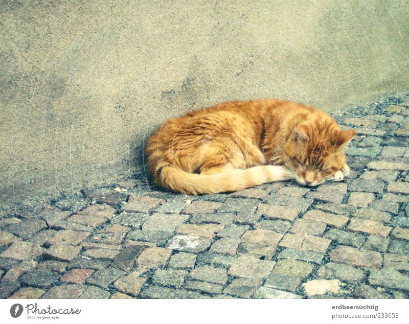 tired pussy Wall (barrier) Wall (building) Sidewalk Paving stone Animal Pet Cat 1 Sleep Authentic Cute Gray Peaceful Calm Doze Soft Pelt Plaster Exterior shot
