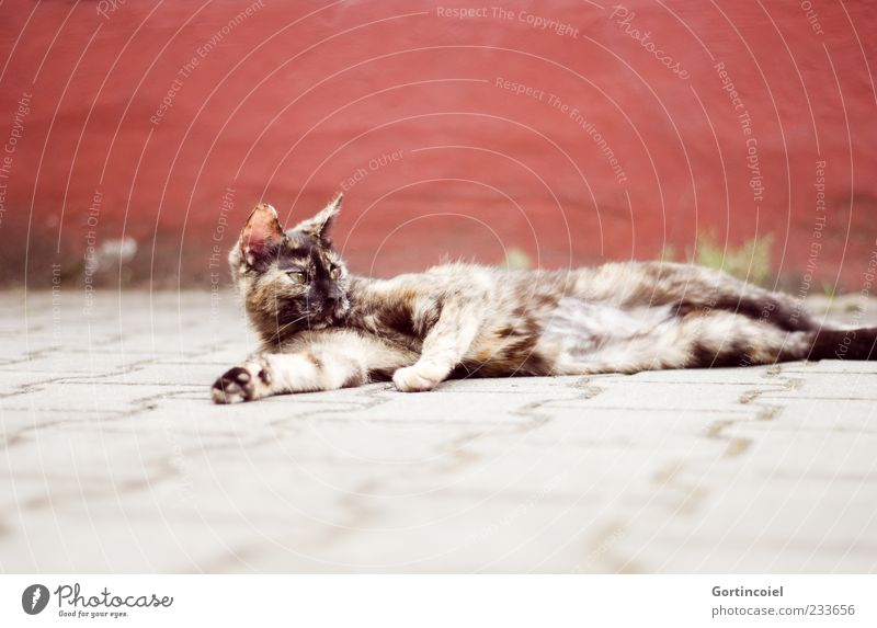 Red Animal Relaxation Gray Cat Brown Baby animal Lie Animal face Observe Pelt Paw Pet Perspective Brownish Stationary