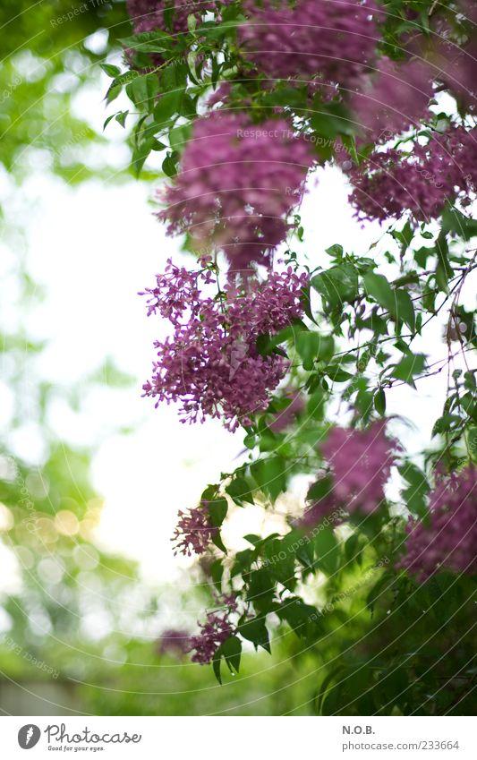Nature Beautiful Plant Blossom Spring Environment Esthetic Violet Lilac