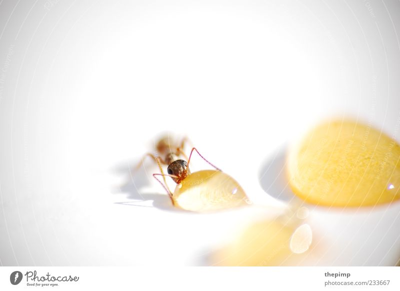 Liquid Gold Animal Ant 1 Drop To enjoy Brown Yellow White Life Colour photo Detail Macro (Extreme close-up) Copy Space top Animal portrait Honey Sweet Delicious