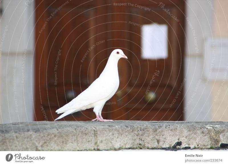 White Animal Wall (barrier) Elegant Symbols and metaphors Sign Peace Noble Pigeon Beak Plumed Wooden door Dove of peace