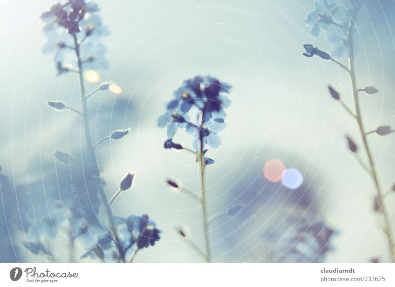 dream Nature Plant Spring Beautiful weather Flower Blossom Forget-me-not Garden Blue Dream Pastel tone Lens flare Blur Fog Subdued colour Detail Deserted Day