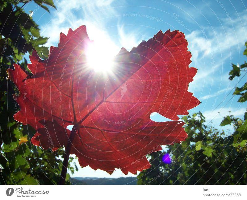 vine leaf Vine leaf Autumn Vineyard Clouds Red Photosynthesis Leaf Vine tendril Angiosperm Rosopsida Life Liana Grape juice Vinegar Brandy Maple tree