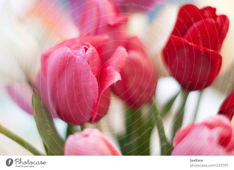 Nature Beautiful Red Plant Flower Leaf Pink Decoration Kitsch Bouquet Tulip Blossom leave Summery Summerflower Tulip blossom