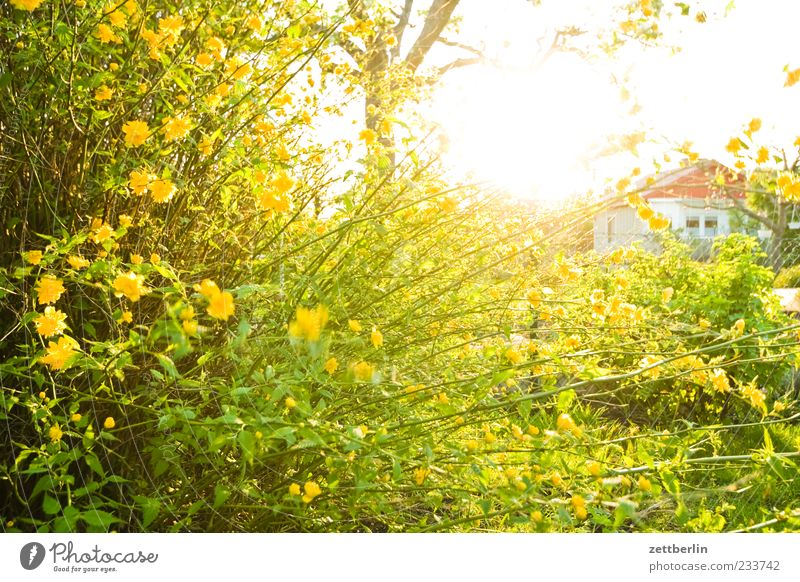 Nature Plant Sun Yellow Blossom Spring Weather Climate Bushes Beautiful weather Blossoming Twig Narrow Garden plot Neighbor Sunset