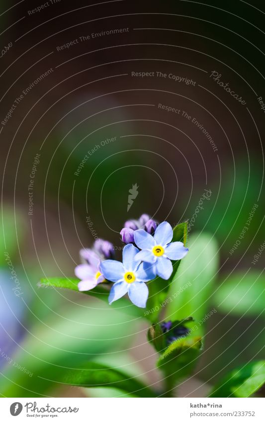 FORGET-ME-NOT Nature Plant Spring Flower Leaf Blossom Wild plant Esthetic Beautiful Blue Yellow Green Violet Purity Fragrance Elegant Pure Forget-me-not