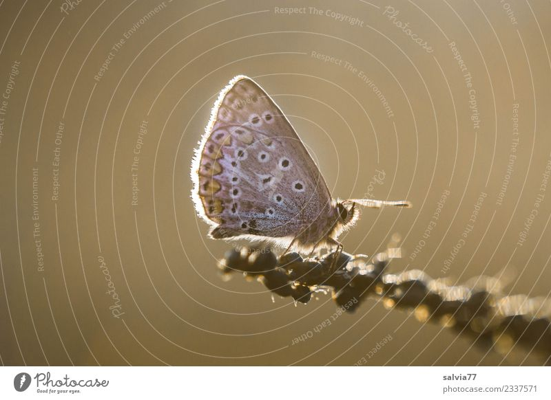 Blue in the evening light Nature Sunrise Sunset Summer Animal Butterfly Wing Polyommatinae Insect Brown Ease Break Calm Moody Evening sun Light Warmth