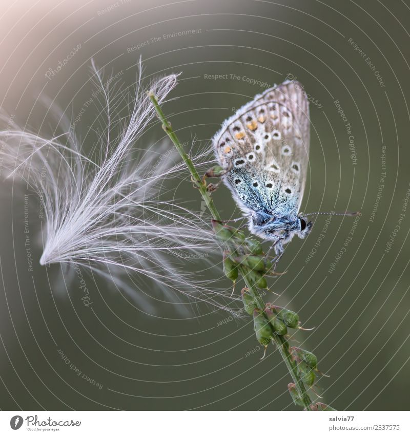 as light as a feather Nature Plant Animal Thistle blossom Seed Butterfly Polyommatinae 1 Esthetic Small Soft Blue Green White Uniqueness Idyll Break Calm Fine