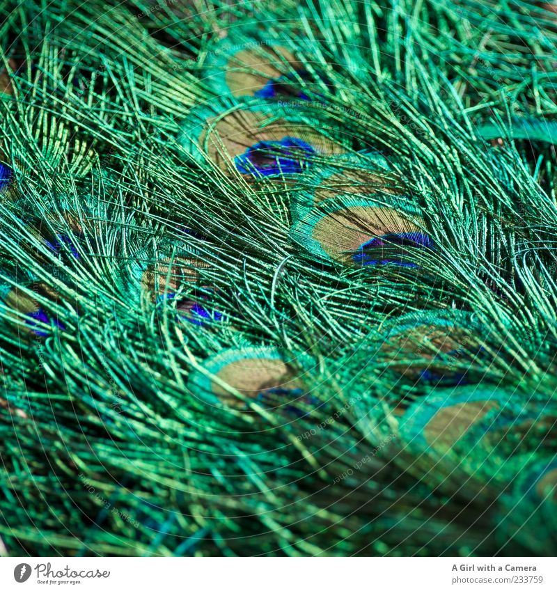 to decorate oneself with foreign feathers??? Animal Bird Peacock Peacock feather Feather Glittering Exceptional Elegant Fantastic Beautiful Natural Blue