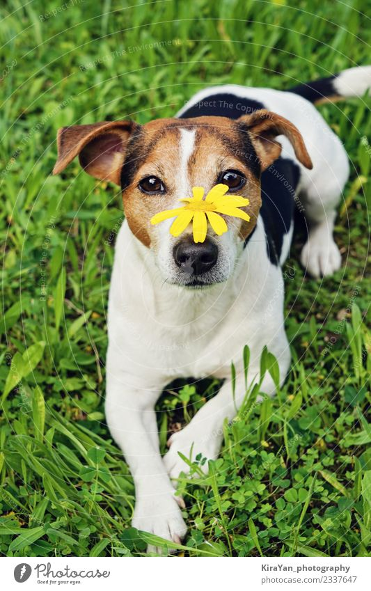 Cute dog in green grass with yellow flower on muzzle Lifestyle Happy Beautiful Health care Allergy Summer Garden Nature Animal Flower Grass Blossom Park Pet Dog