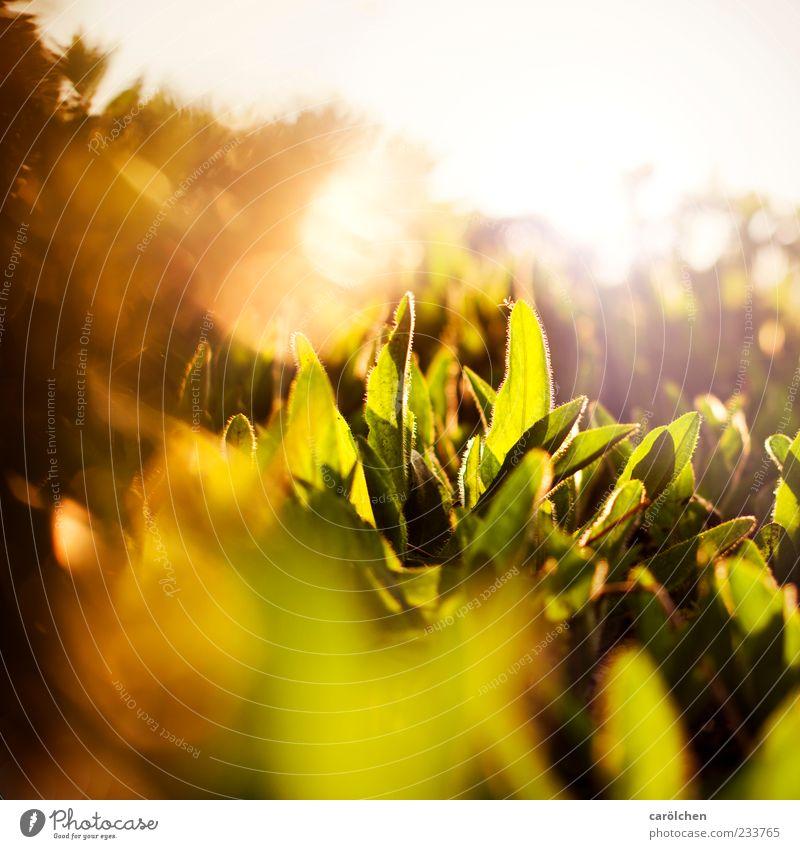 golden Nature Plant Leaf Foliage plant Yellow Gold Green Light Colour photo Multicoloured Exterior shot Detail Evening Reflection Light (Natural Phenomenon)