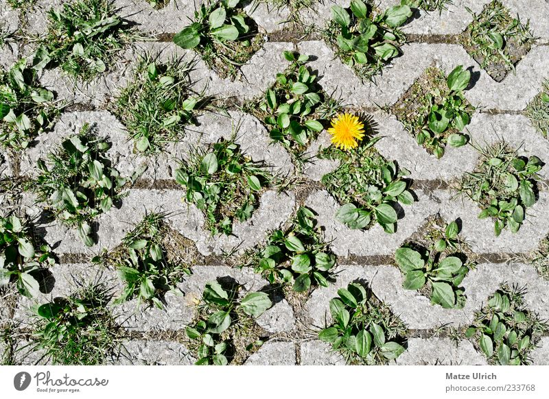 Green Plant Flower Yellow Gray Lanes & trails Uniqueness Dandelion Tolerant Contrast Assertiveness