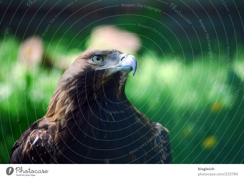 eagle eye Bird Animal face Zoo Eagle Eagles eyes Beak Feather 1 Brown Green Watchfulness Might Power Colour photo Exterior shot Copy Space right Copy Space top