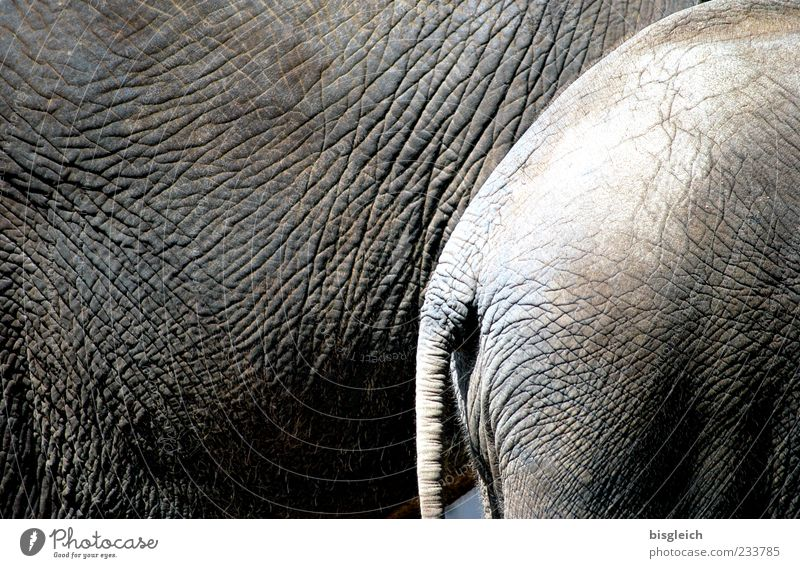pachyderms Elephant Elephant skin 2 Animal Stand Round Gray elephant tail Tails Wrinkle Wrinkles Hide Colour photo Subdued colour Exterior shot Deserted