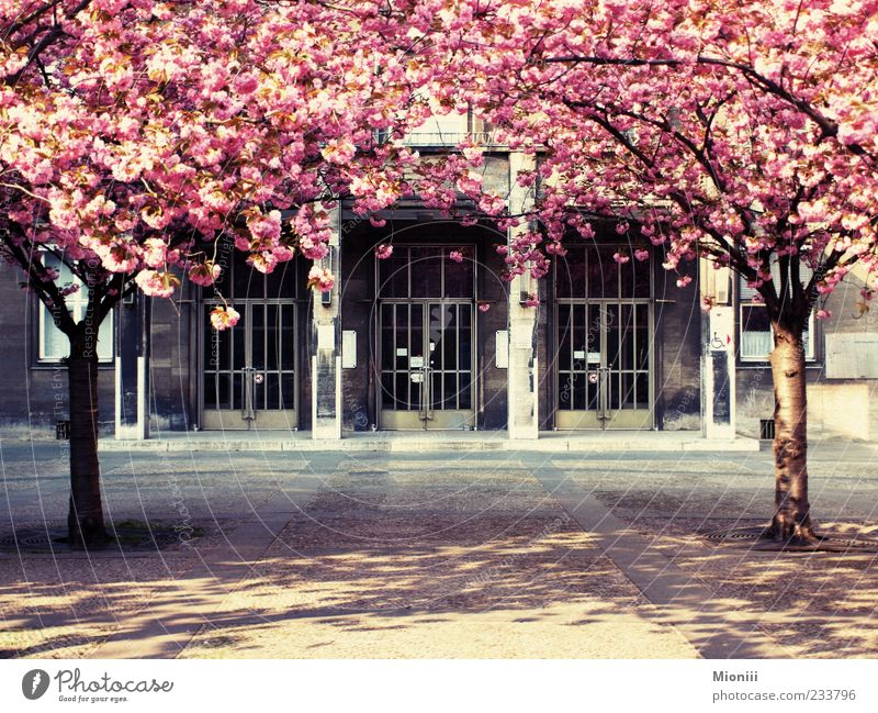 Tree Blossom Spring Pink Closed Beautiful weather Blossoming Entrance