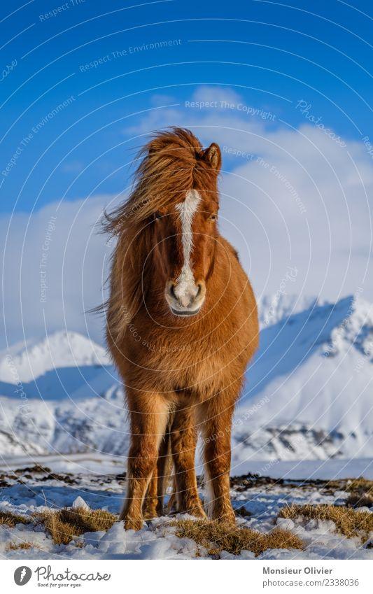 Iceland pony Horse Pony Iceland Pony 1 Animal Brown White Animal portrait Colour photo Exterior shot Day