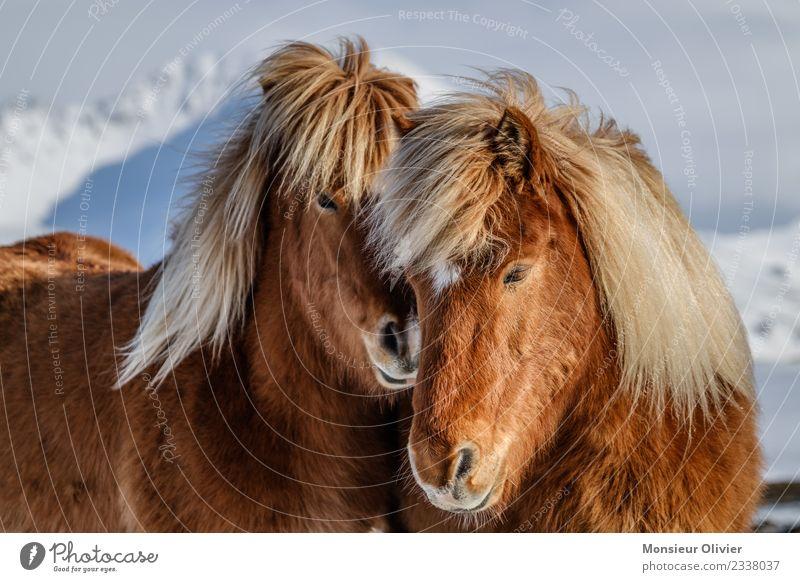 Iceland Ponies Horse Pony Iceland Pony 2 Animal Brown White Animal portrait Colour photo Exterior shot Day Cuddling Love Beautiful