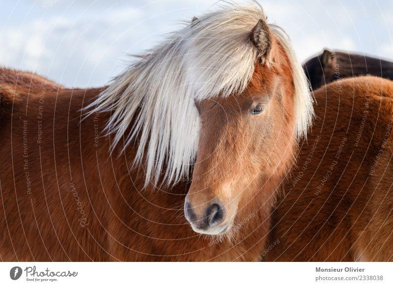 Iceland pony Horse Pony Iceland Pony 1 Animal Brown White Portrait photograph Colour photo Exterior shot Day Animal portrait