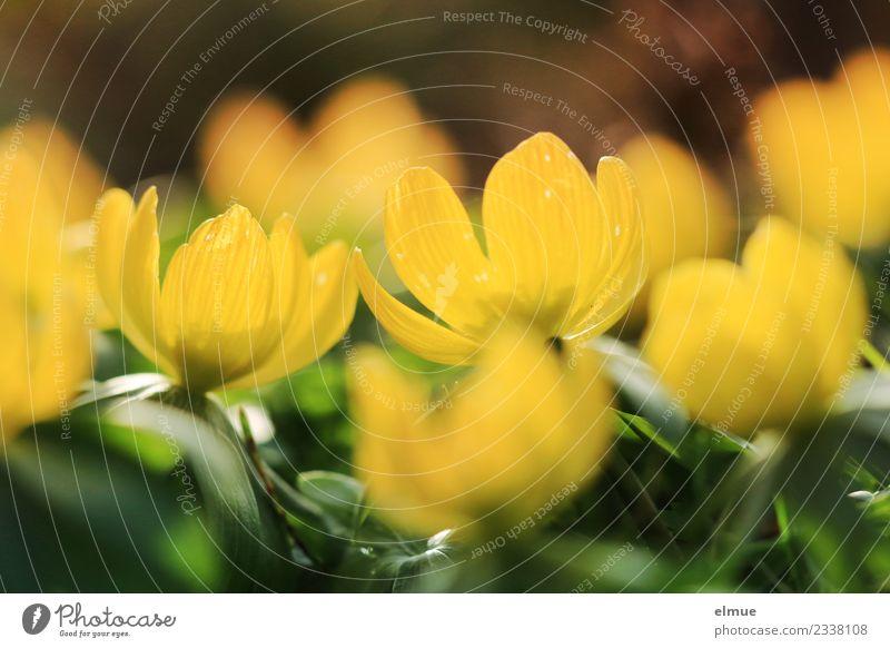 Nature Plant Beautiful Colour Green Sun Flower Yellow Blossom Spring Small Happy Garden Design Illuminate Dream