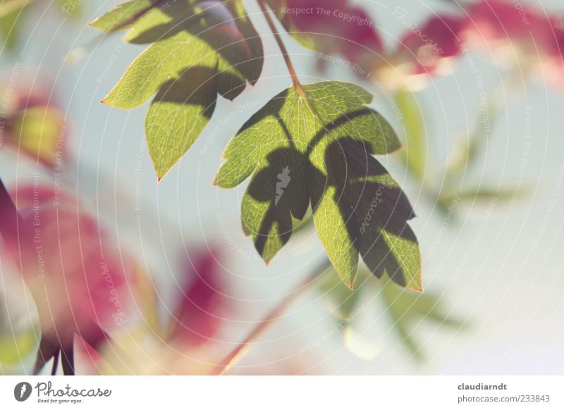 Nature Green Plant Flower Leaf Blossom Pink Beautiful weather Rachis Twigs and branches Back-light X-rayed Bleeding heart