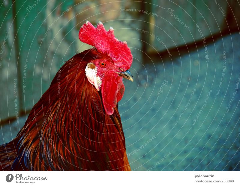 Tap without basket Animal Farm animal Animal face 1 Curiosity Rooster Beak Feather Agriculture Cockscomb Colour photo Exterior shot Copy Space right Day