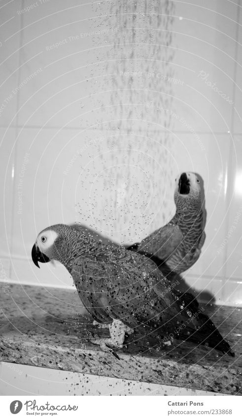 Water Animal Swimming & Bathing Bird Exceptional Pair of animals Feather Drops of water Cleaning Bathroom Tile Pet Take a shower Plumed Parrots