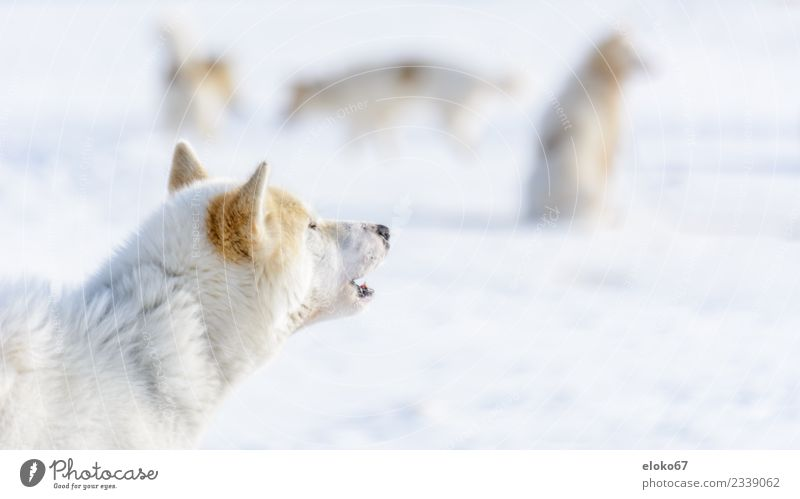 Sled dog in Greenland Animal Pet Farm animal Dog 1 Group of animals Feeding Hunting Fight Communicate Brown White Colour photo Subdued colour Exterior shot