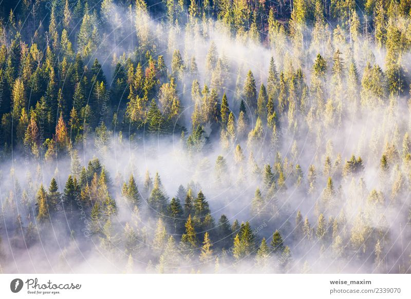 Coniferous forest in fog, Misty pine woodland. Morning fog Nature Vacation & Travel Plant Summer Beautiful Green Landscape White Tree Clouds Far-off places