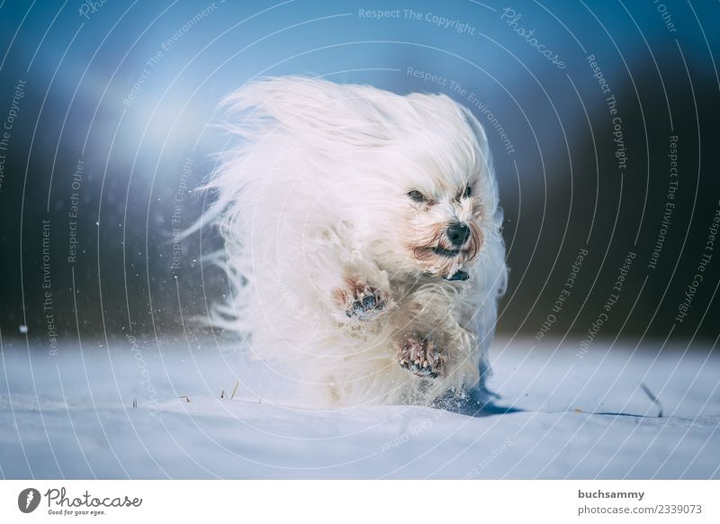 Havanese rages in the snow Winter Animal Pelt Long-haired Pet Dog Romp Speed White youthful Maltese Snow sunshine Mammal Action Colour photo Exterior shot