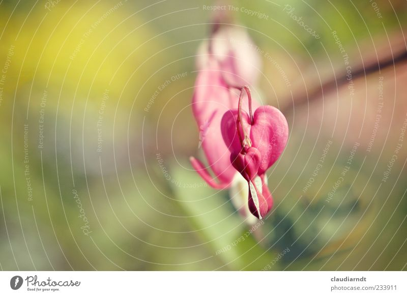 *drop* Nature Plant Flower Blossom Bleeding heart Heart Beautiful Pink Blur Colour photo Close-up Detail Deserted Copy Space left Day Sunlight