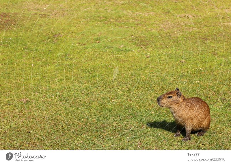 On a wide corridor - capybaras at home Summer Grass Wild animal Pelt Paw Baby animal Looking Exceptional Natural Curiosity Cute Brown Green Serene Calm