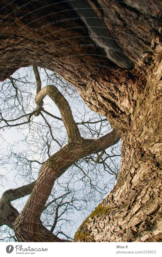Sky Nature Old Tree Plant Environment Brown Tall Large Growth Branch Twig Tree bark Gigantic Whorl Oak tree