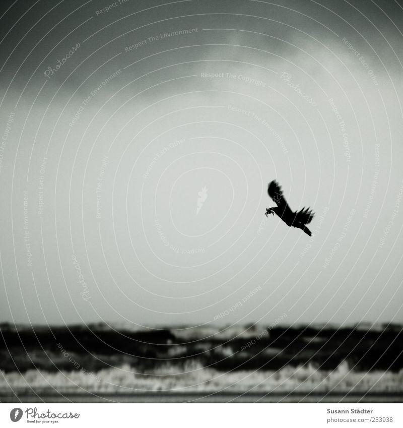 Dark Coast Flying Wing Wild animal Hunting North Sea Beak Surf Carrying Feed Raven birds Prey Shrimp Hunt for prey