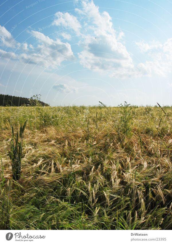 summer field Field Summer Wheat Oats Rye Agriculture Rural Idyll Summer sky