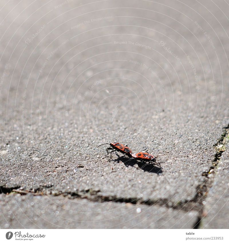 to you or to me. . . Nature Animal Summer Beautiful weather Wild animal Beetle Insect Firebug 2 Pair of animals Stone Concrete Rutting season Touch Movement