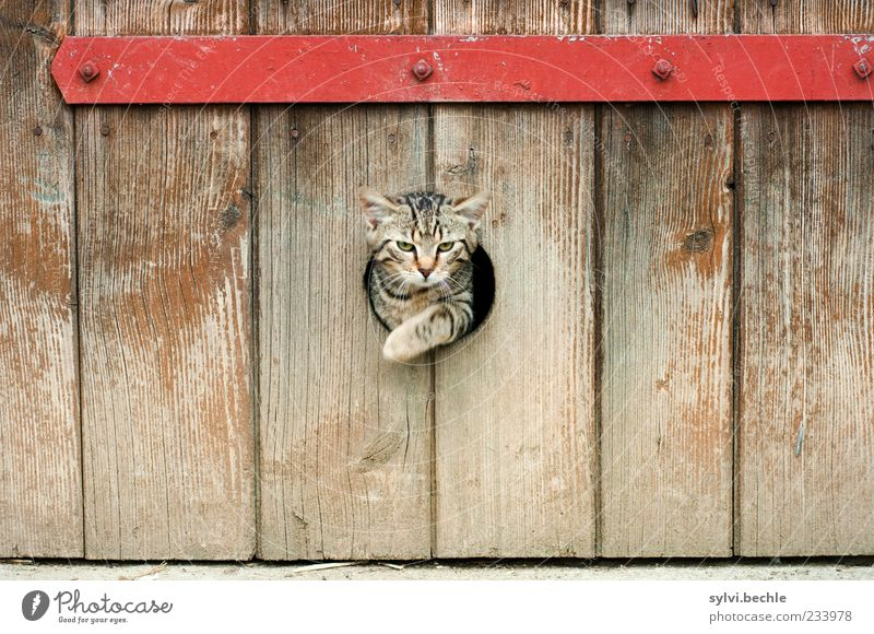 emergency exit Animal Pet Cat Animal face Paw 1 Movement Jump Elegant Cute Brown Red Freedom Hollow Barn Way out Metal Wood Stripe Tabby cat Colour photo