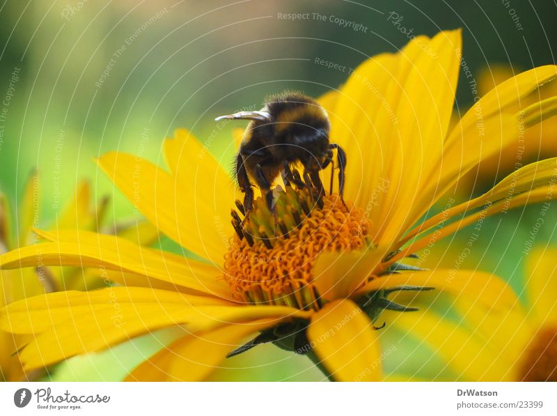 Flower Blossom Insect Bee Bumble bee Honey Stamen Food Nectar