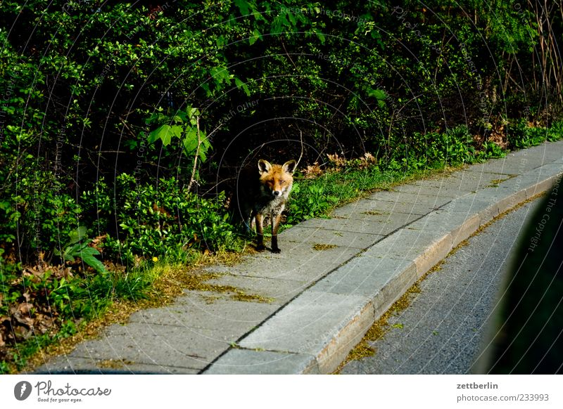 fox Environment Nature Landscape Plant Street Looking Dangerous Fox Land-based carnivore Curbside Encounter Colour photo Subdued colour Copy Space left