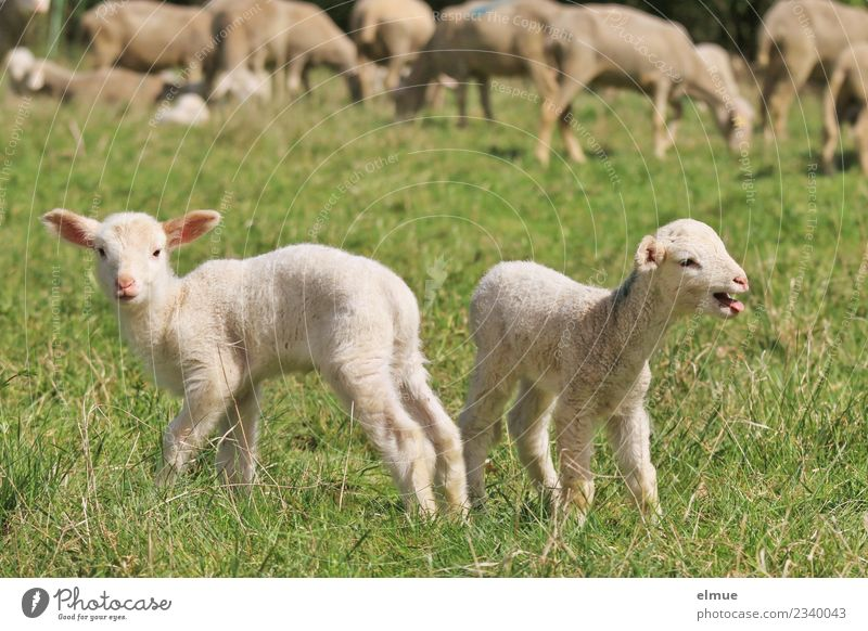 two lambs in the meadow Farm animal Sheep Lamb Agnus Dei Flock Twin Herd Looking Stand Together Cuddly Small Cute Emotions Happy Joie de vivre (Vitality)