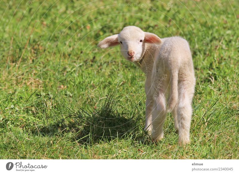a lamb in the meadow Spring Meadow Farm animal Sheep Lamb Agnus Dei Baby animal Communicate Looking Stand Bright Beautiful Cuddly Small Cute Happiness
