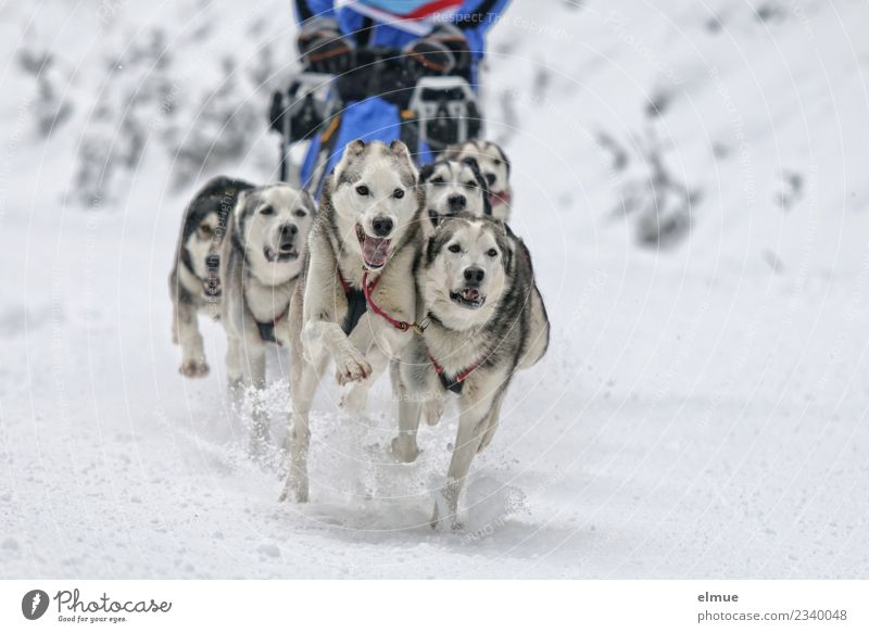 Husky team at full speed Winter Snow Dog Sled dog Sled dog race Pelt Tongue Snout Running Athletic Authentic Together Joie de vivre (Vitality) Enthusiasm