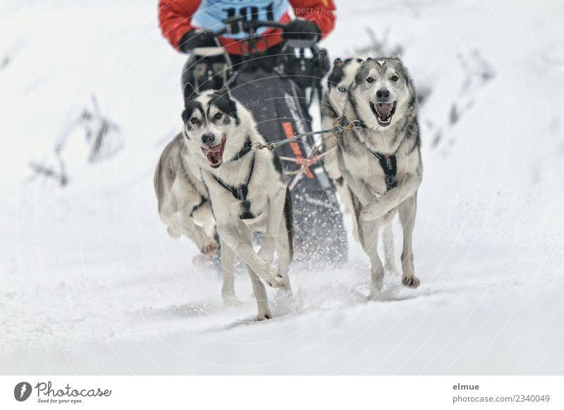 Dog Animal Joy Winter Cold Snow Sports Movement Together Power Adventure Joie de vivre (Vitality) Speed Energy Athletic Passion