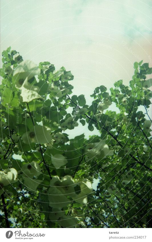 Sky Nature White Green Tree Plant Clouds Environment Spring Beautiful weather Leaf canopy