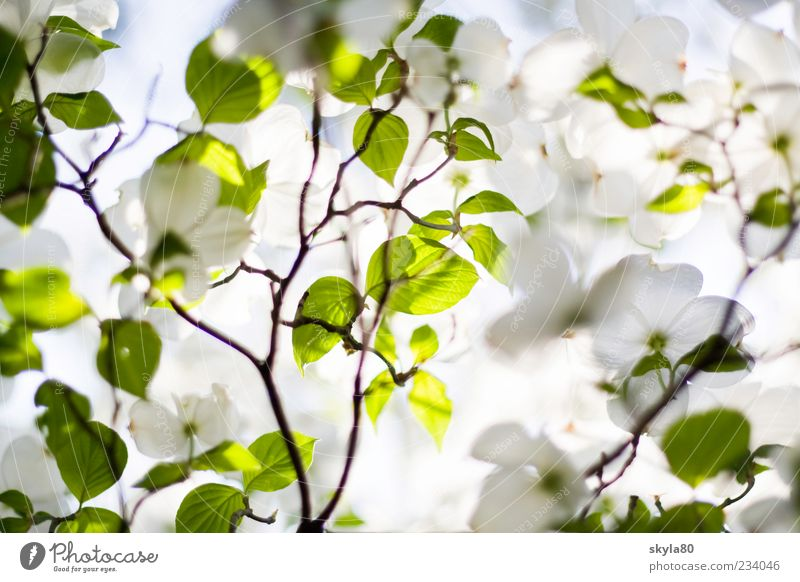 tenderness of spring Nature Plant tree Fresh green White bleed Blossom leave flaked Summer Sun Light Sunlight Bright Warmth Leaf shade Leaf green Twig Detail