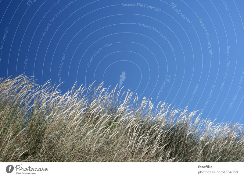 the wind loves the grass Relaxation Summer Beach Environment Nature Landscape Plant Sky Cloudless sky Weather Beautiful weather Wind Grass Blue Colour photo